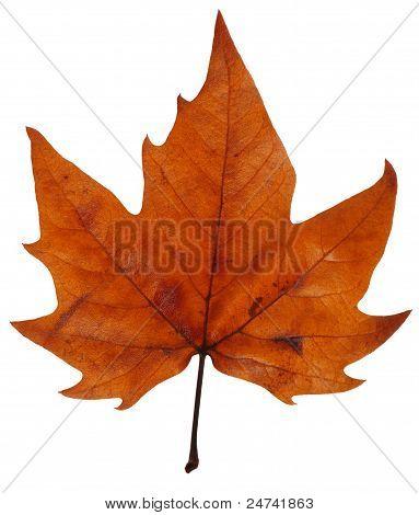 Maple Leaf In Autumn