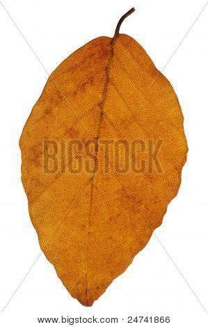 Beech Leaf In Autumn