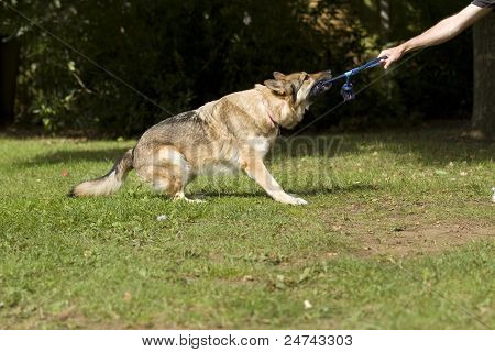 Big Dog Tugging On A Rope