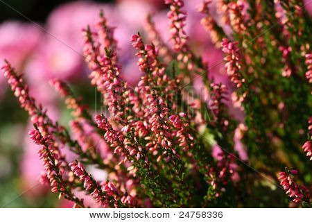 Blooming Heather Flowers On The Green Meadow