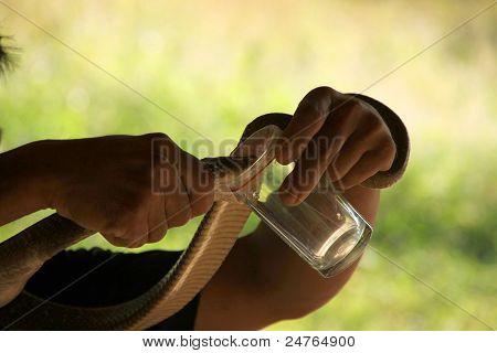 Venom Of King Cobra