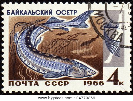 Baikal Sturgeon On Post Stamp