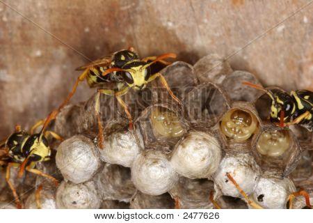 Wasps On Nest