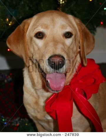 Puppy With Red Ribbon 004