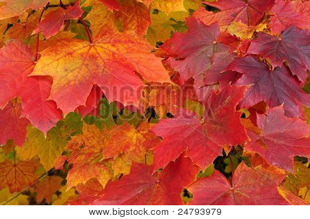 Close Up Of Maple Leaves In Autumn