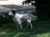 picture of english setter  - english setter pointing - JPG
