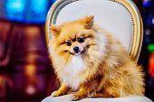 Cute Pomeranian Dog With Red Hair Like A Fox Resting On A Chair Before Shearing. Toned Image. The Co poster
