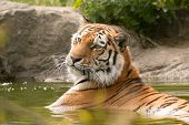 Bengal Tigress Laying In Water With His Head Up Looking Away From The Camera In Paradise Wildlife Pa poster