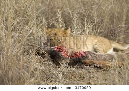 Lion Cub Eating