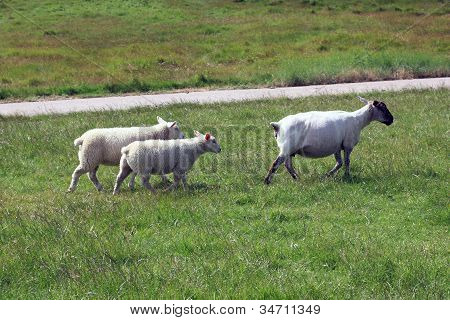 Shorn Ewe With Two Lambs