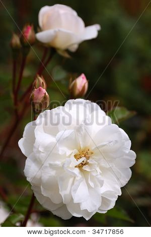Closeup Of White Peony