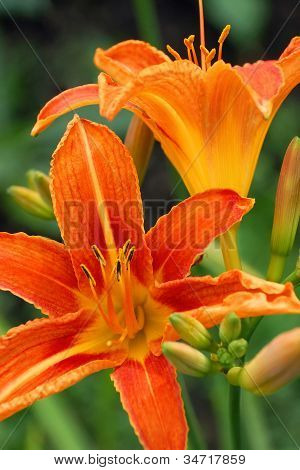 Closeup of Tiger Lily Flower