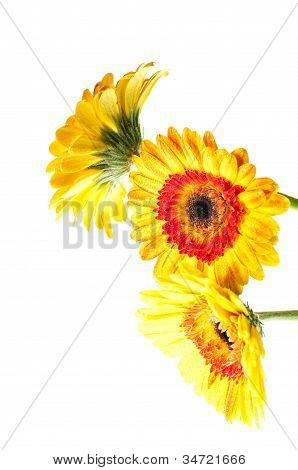 Three Orange Yellow Gerbera Flower