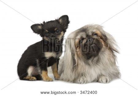 Uma pequinês e um Chihuahua