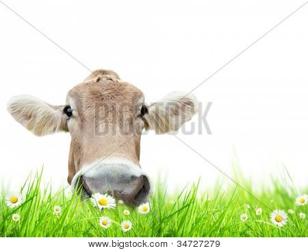 Alpine cow in meadow, isolated on white background