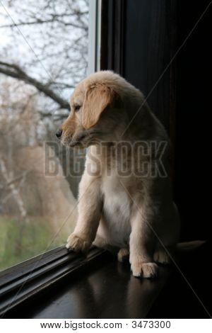 Puppy At Window