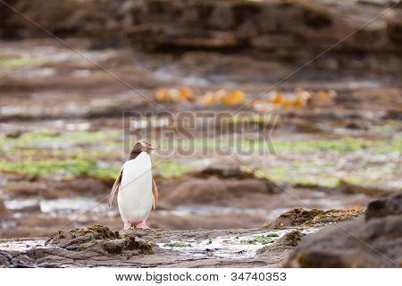 Erwachsene Nz gelbe Augen Pinguin oder Hoiho am Ufer