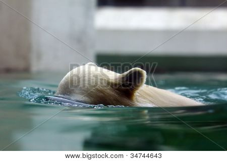 Swimming Jung Polar Bear