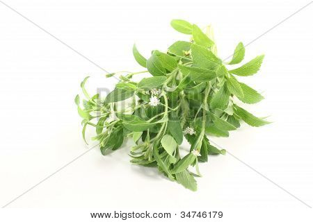 Green Stevia White Flowers