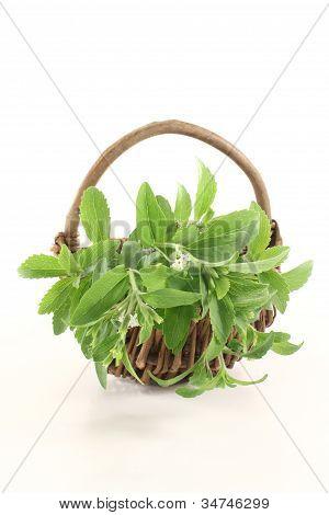 Fresh Green Stevia