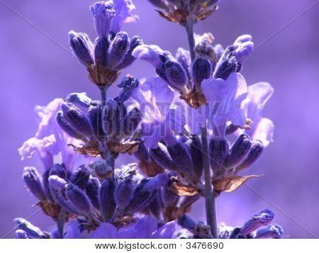 Blue Lavender