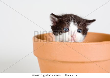 Black And White Kitten And A Flower Pot,