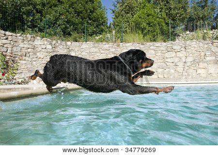 Plunging Rottweiler