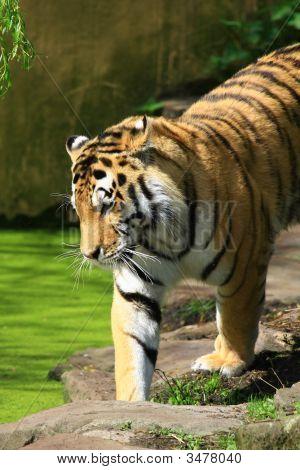 a big tiger