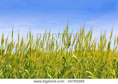 Balearic green wheat field in Formentera island under blue sky