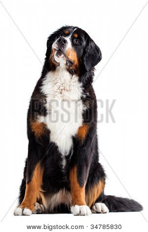 Bernese mountain dog in front of a white background.