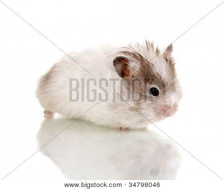Branco de hamster bonito isolado