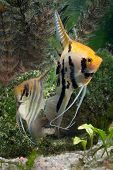 image of fresh water fish  - Two Angelfish in a tropical fish tank - JPG