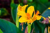 Beautiful Colorful Flowers Of A African Arrowroot Plant In Closeup, Tropical Ornamental Plant Specie poster