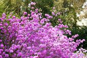 Rhododendron Is Blooming In Arboretum, Close Up. Purple Gentle Flowers Is Growing In City Park. Land poster