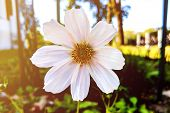 Beautiful White Cosmos Flower In The Garden. White Flowers Pictures. Cosmos Bipinnatus, Commonly Cal poster