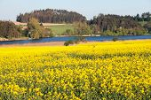 Rapeseed, Canola Or Colza Field In Latin Brassica Napus With Pond And Forest, Rape Seed Is Plant For poster