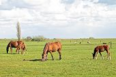 stock photo of horses eating  - Horses grazing in the countryside from the Netherlands - JPG