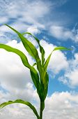 Lone Cornstalk Against A Cloudy Summer Sky