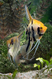 picture of fresh water fish  - Two Angelfish in a tropical fish tank - JPG