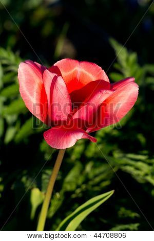 Pink Tulip,Tulip Fields in the spring time , close up