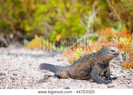 Male marine iguana, endemic of Galapagos islands, Ecuador