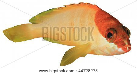 Blacktip Grouper isolated on white background