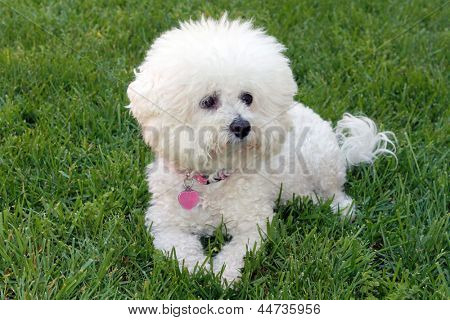 A beautiful pure breed Bichon Frise enjoys an warm spring afternoon in the sun while laying in fresh cut green grass.