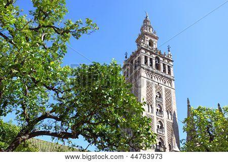 Naranjos en el patio de la Catedral y la Giralda campanario, Sevilla