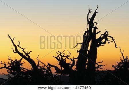 Bristlecone Pine Silhouettes