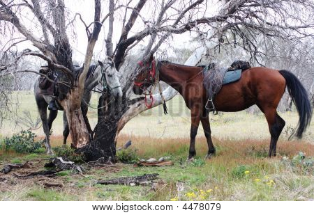 Australian Horse In The Bush