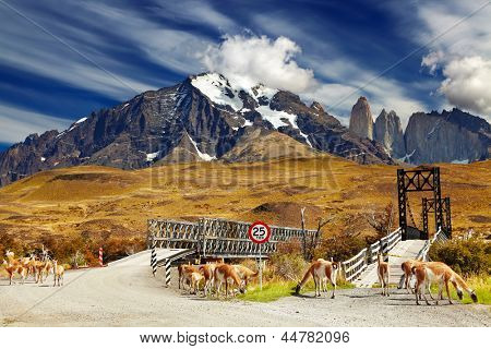Wild guanacos in Torres del Paine National Park, Patagonia, Chile