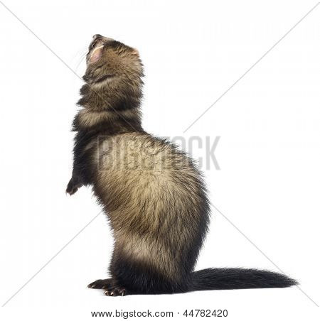 Rear view of a Ferret standing on hind legs and looking up, isolated on white