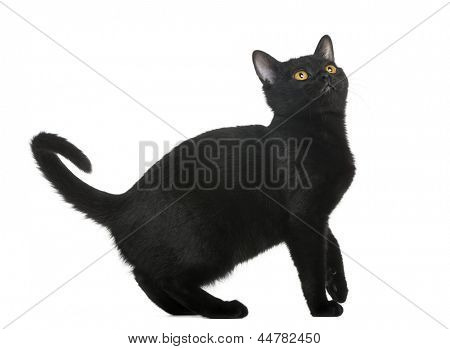 Bombay kitten looking up, isolated on white