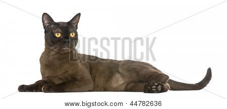 Bombay cat lying and looking away, isolated on white